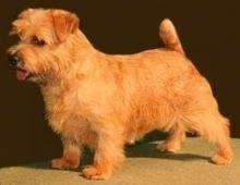 Left Profile - A show dog looking tan Norfolk Terrier standing on a table.