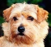 Close up head shot of a tan Norfolk Terrier standing outside looking to the left.