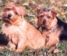Side view of two dogs sitting in grass looking at the camera - A tan Norfolk Terrier is sitting with its head tilted to the right in front of a tan and black Norfolk Terrier that is sitting behind it.