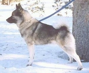 Left Profile - A grey with black Norwegian Elkhound dog is standing in snow and behind it is a tree.