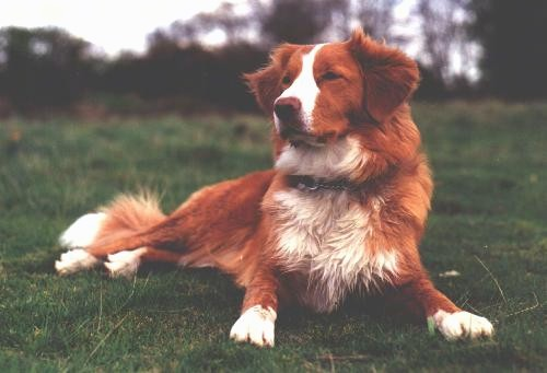 Front side view - A red with white Nova Scotia Duck-Tolling Retriever is laying down in grass looking to the left.