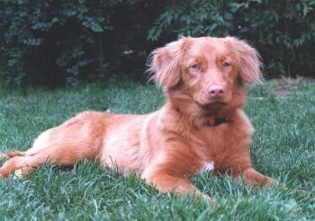Side view - A red with white Nova Scotia Duck-Tolling Retriever is laying in grass and it is looking forward. It has longer fringe hair on its ears.