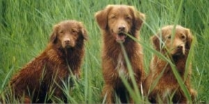 Three brown Nova Scotia Duck-Tolling Retriever dogs are sitting in a row in tall grass looking forward. The middle dog has its mouth open and it looks like it is smiling.