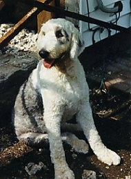 A groomed short grey with white Old English Sheepdog is sitting in the  shade in dirt looking to the left. Its mouth is open and tongue is out.