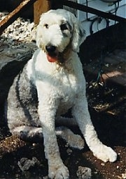 A panting, groomed short grey with white Old English Sheepdog is sitting in the shade in dirt looking to the left.