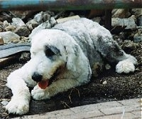 A groomed short grey with white Old English Sheepdog is laying on dirt looking to the left. Its mouth is open and its tongue is out.