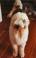 A grey with white Old English Sheepdog is standing on a hardwood floor looking forward. There is another Sheepdog laying on a rug behind it.