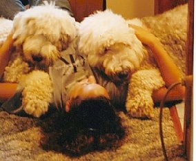Two Old English Sheepdogs are laying on a floor on top of a lady who is laughing at them.