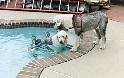 A grey with white Old English Sheepdog is standing at the side of a swimming pool and there is a Sheepdog wearing a red harness standing on the steps inside of the pool.