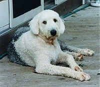 A groomed short grey with white Old English Sheepdog is laying on a wooden deck in front of a sliding door looking forward.