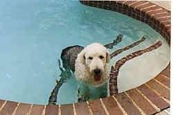 A grey with white Old English Sheepdog is standing on the steps of an in-ground swimming pool. Its mouth is open and its tongue is out.