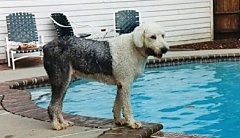 Right Profile - A wet grey with white Old English Sheepdog is standing on the side of a swimming pool looking to the right. There is a white house behind it.