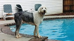 Right Profile - A wet grey with white Old English Sheepdog is standing at the side of a pool and it is looking towards the camera.