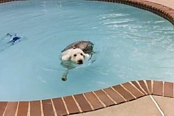 A grey with white Old English Sheepdog is swimming to the edge of a swimming pool.