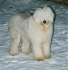 Front side view - A shaggy grey with white Old English Sheepdog is standing in snow looking forward.