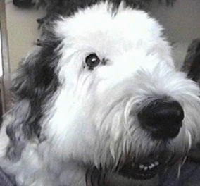 Close up head shot - A grey with white Old English Sheepdog is sitting in a room with its head turned to the right but its eyes are looking forward. Its mouth is slightly open.