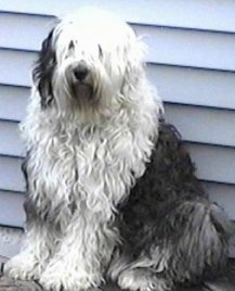 Front side view - A shaggy grey with white Old English Sheepdog is sitting in front of a white house looking forward.