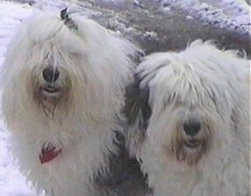 Close up head shots - Two shaggy, grey with white Old English Sheepdogs are standing in snow looking forward with their mouths slightly open.