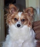Close up - A white with tan Papillon dog sitting on a couch looking forward.