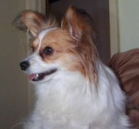 Close up side view - A white with tan Papillon dog sitting on a couch looking to the left.