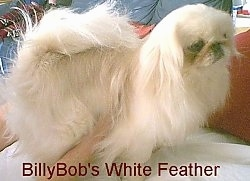 A tan with white Pekingese is standing on a bed and a person has their hands on the underside of the dog. The words - BillyBob's White Feather - is overlayed at the bottom.