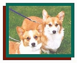 Two tan with white Pembroke Welsh Corgis are standing in grass looking forward.