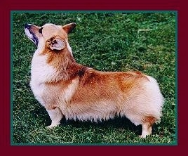 A Full Grown Pembroke Welsh Corgis