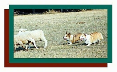 Action shot - Two Pembroke Welsh Corgi dogs are herding sheep in a field.