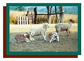 A tan with white and black Pembroke Welsh Corgi is standing behind a sheep and barking at it. There is another sheep in front of that running and behind that sheep is another Pembroke Welsh Corgi that is facing forward.