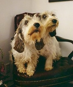 Front view - Two white with black and tan Petit Basset Griffon Vendeen dogs are sitting in an arm chair looking slightly to the right.