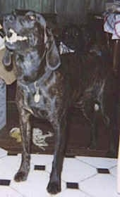 Front side view - A shiny-coated, black with white Plott Hound is standing on a tiled floor and it is looking up and to the left. Its mouth is open. There is another dog laying behind it in the background.