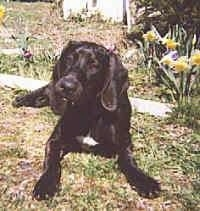 Front view - A black with white Plott Hound puppy is laying in grass and its head is slightly tilted to the right. There are yellow daffodil flowers growing next to it.