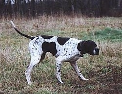 A white with black Pointer is standing in patchy grass and its head is level with its body. It is looking to the right and is in a pointing pose.