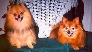 Front view of two dogs - A brown with black Pomeranian is sitting on a towel in a chair and next to it is a red Pomeranian that is laying down and looking forward. They both are panting.