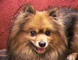 head shot - A brown with black Pomeranian is laying on a carpet and it is looking forward. Its mouth is open and its tongue is out.