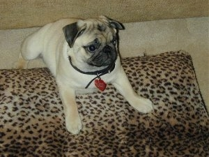 This is 3 1/2 month old Bugsy the Pug Puppy