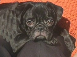 Close up - A black Pug puppy is laying on top of a person.