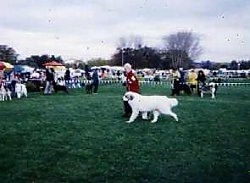 A Great Pyrenees is trotting around outside in a dog show ring with a person in a red coat next to it.