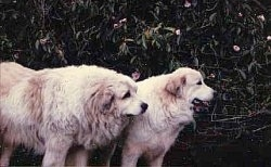 Two Great Pyrenees are standing in front of a large bush