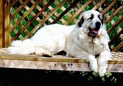 A Great Pyrenees is laying on a wooden deck looking happy.