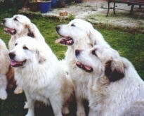 Five Great Pyrenees are sitting in grass. All of them are panting and looking to the left