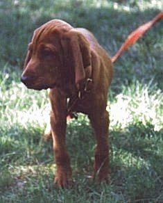 Front view - A Redbone Coonhound puppy is standing in grass looking to the left.