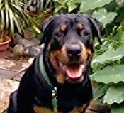 Close up - A black and tan Rottweiler is sitting on a brick porch. Behind it is potted plants. It is looking forward, its mouth is open and it is smiling.