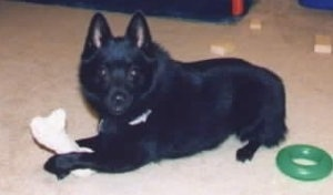 A black Schipperke is laying across a carpet and it is looking forward. It has a boen in between its front paws and a green ring chew toy behind it.