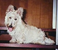 The left side of a White Scottish Terrier dog sitting on a step and it is looking forward. Its mouth is open and its tongue is sticking out. It has a thick coat and rounded perk ears.