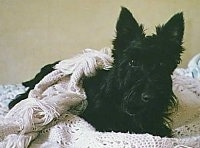 Front view - A black Scottish Terrier dog is laying on a couch with a white blanket cover over its back looking forward.
