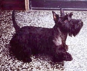 The right side of a black Scottish Terrier that is looking up and to the right. The dog's tail is up in the air and its front paw is up.