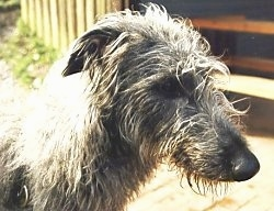 Close up head shot - A grey Scottish Deerhound is standing on a wooden porch, it is looking down and to the right.