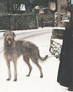 The left side of a grey Scottish Deerhound is standing in snow and it is looking forward. There is a person to the right of the dog looking down at it. The dog has long legs.
