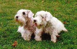 Front view - Two white Sealyham Terriers are sitting in grass and they are looking to the left. The dog on the rights mouth is open and tongue is sticking out. The dogs have longer hair on their faces.